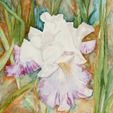 Mom's Iris | Watercolor | 12 x 12 |$250