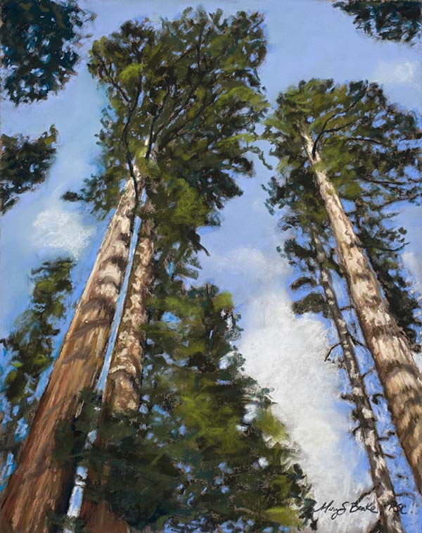 Landscape pastel painting of a view looking through gorgeous sequoia trees up at wispy clouds by Mary Benke